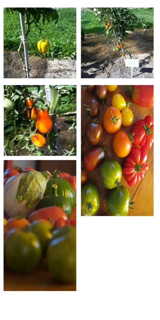 Raster - Tomate 2